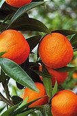 Mandarin (Citrus reticulata) on the tree