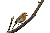 Robin (Erithacus rubecula) in song, Norfolk, spring Cut Out