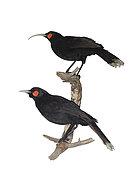 Huia (Heteralocha acutirostris). extinct species of New Zealand wattlebird, endemic to the North Island of New Zealand. The last confirmed sighting of a huia was in 1907