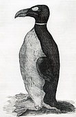 Only known illustration of a Great Auk (Pinguinus impennis) drawn from life, Ole Worm's pet received from the Faroe Islands. which was figured in his book Museum Wormianum. Date 1655