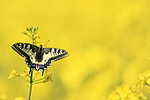Old World Swallowtail (Papilio machaon) on flower in spring
