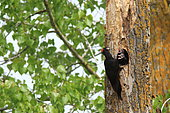Black Woodpecker (Dryocopus martius) feeding chicks at nest in spring