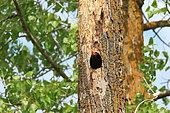 Black Woodpecker (Dryocopus martius) at nest in spring