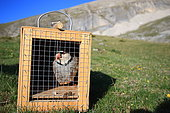 Study of the National Office of Hunting and Wildlife on the partridge bartavelle (Alectoris graeca). Using a caller to capture wild birds, Alps, France