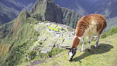Lama and summit of Huayna Picchu overlooking the site of the ruins of the Inca city of Machu Picchu in the Andes, Peru.