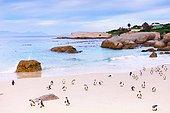 Jackass penguins (Spheniscus demersus) on a beach, Boulders Beach, South Africa