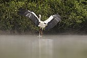White stork (Ciconia ciconia) landing on the water in the fog,Dombes,France