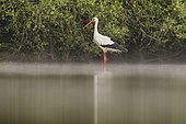 White stork (Ciconia ciconia) on the water in the fog,Dombes,France