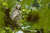 Long-eared Owl (Asio Otus) young perched in a tree, Dombes, France