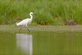 Little egret (Egretta garzetta) walking on the water, Dombes, France