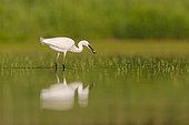 Little egret (Egretta garzetta) fishing , Dombes, France