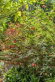 Calliandra haematocephala, Cordyline stricta 'Rubra', Jardin de Aclimatacion de la Orotava, Puerto de La Cruz, Tenerife, Iles Canaries, Espagne