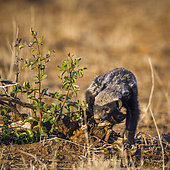 Honey badger (Mellivora capensis) in Kruger National park, South Africa