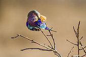 Lilac-breasted roller (Coracias caudatus) in Kruger National park, South Africa