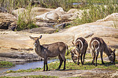 Common Waterbuck (Kobus ellipsiprymnus) in Kruger National park, South Africa