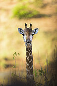 Giraffe (Giraffa Camelopardalis ), South Africa, Kruger national park