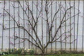 Peach tree 'Galande' in bloom, trained against a wall