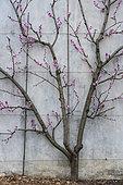 Pêcher 'Galande' en fleurs, palissé contre un mur