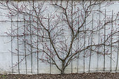 Peach tree 'Belle Imperiale' in bloom, trained against a wall