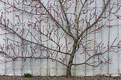 Peach tree 'Reine des Vergers' in bloom, trained against a wall