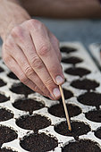 Sowing Basil 'Grand Vert' into plant cells