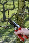 Winter pruning of a Pear tree 'Passe Crassane'