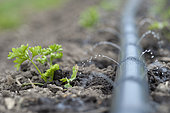 Drip irrigation of Curly-leaved parsley, Potager du Roi