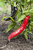 Sweet pepper 'Manganji'
