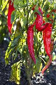 Sweet pepper 'Fushimi Amanaga'