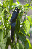 Sweet pepper 'Fushimi Amanaga' immature