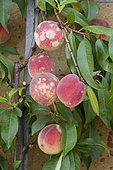 Rose powdery mildew (Podosphaera pannosa = Sphaeroteca pannosa) on peaches