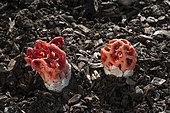 Clathre rouges (Clathrus ruber)