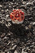 Clathre rouge (Clathrus ruber)