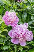Peony 'Mme Furtado' in bloom in a garden