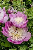 Peony 'Bowl of Beauty' in bloom in a garden