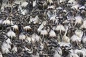Blue wildebeest or common wildebeest, white-bearded wildebeest or brindled gnu (Connochaetes taurinus) crossing the Mara River. Serengeti National Park. Tanzania