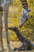 Giraffe (Giraffa camelopardalis) giving birth. Northern Tuli Game Reserve. Botswana.