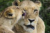Lion (Panthera leo) cub grooming a lioness. MalaMala (Mala Mala) Game Reserve. Mpumlanga. South Africa