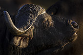 African buffalo, affalo, nyati, mbogo or Cape buffalo (Syncerus caffer). Phinda / Munyawana / Zuka Game Reserve. KwaZulu Natal. South Africa
