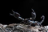 Emperor scorpion (Pandinus imperator) on black background.