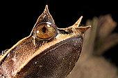 Long-nosed horned frog (Megophrys nasuta) on black background.