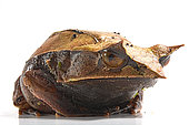 Long-nosed horned frog (Megophrys nasuta) on white background.