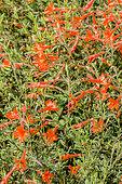 Zauschneria californica 'Ghostly Red'