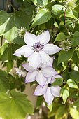 Clematis (Clematis sp) in bloom in a garden, summer, Alsace, France