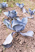 Red cabbage in a kitchen garden, summer, Moselle, France