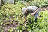 Jardinier récoltant des salades, chicorée dans son potager, été, Moselle, France