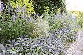 Mixed-border composed of sage, mint and echinacea, summer, Moselle, France