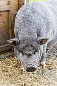 Grey domestic pig in a pigsty, Pas-de-Calais, France