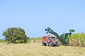 Mechanical harvesting of sugar cane at the main land of Port Louis, Guadeloupe