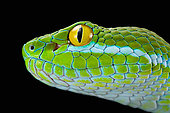 Large-eyed Pit Viper (Trimeresurus macrops) portrait of male on black background.